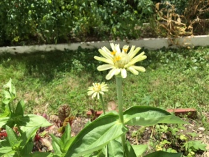 Polar Bear Zinnia in Christine's garden in Hudson Valley